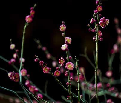 暗香浮动俏争春