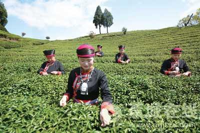 扶持茶产业发展 带动茶农增收致富