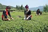 七都:茶叶飘香 富农增收