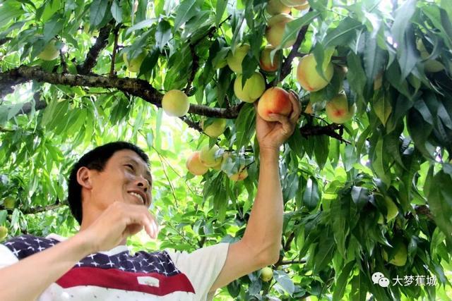 助农丨炎炎夏日,多品种水蜜桃甜蜜来袭!逃不开你的手掌心~