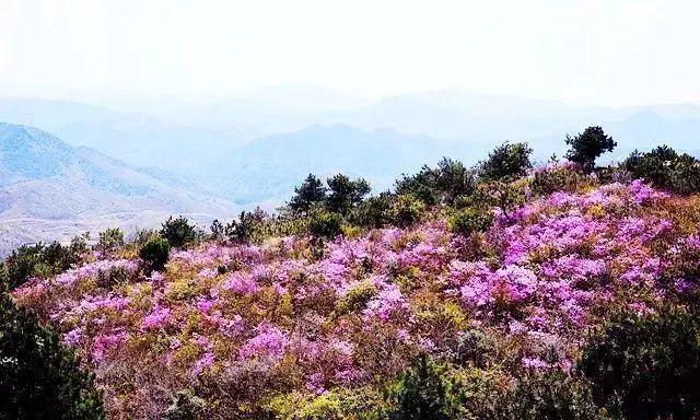 染紅一座座山,錯過等一年!寧德這些地方的杜鵑花都開好了,就等你來看