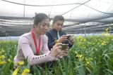 九都:文心兰盆花批量上市