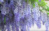 蕉城这个地方的紫藤花开啦,那一抹浪漫紫梦幻了春天!